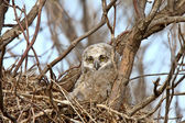 Great Horned Owl owlet in nest — Foto de Stock