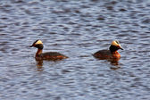 Horned Grebes in a roadside pothole — Stock Photo