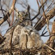 Great Horned Owl and owlet in nest — Stock Photo