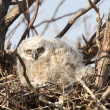 Great Horned Owlet in nest in spring — Stock Photo