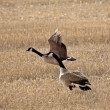 Pair of CanadGeese in early spring — Stock Photo #4962834