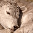 Young Calf sleeping on its shoulde — Stock Photo