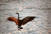 Bernikla kanadyjska lądowania na lodzie jeziora funt bawół — Zdjęcie stockowe