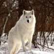 Arctic Wolf in winter — Foto de Stock