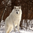 Royalty-Free Stock Photo: Arctic Wolf in winter