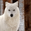 Arctic Wolf in winter — Stock Photo
