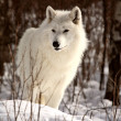 Arctic Wolf in winter — Foto Stock