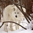 Foto Stock: Arctic Wolf in winter