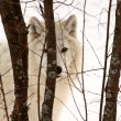 Arctic Wolf in winter — Stock fotografie