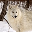 Stock Photo: Arctic Wolves in winter