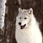 Arctic wolf på vintern — Stockfoto