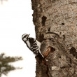 Downy Woodpecker on tree trunk — Stock Photo