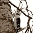 Downy Woodpecker on tree trunk - Stock Photo