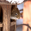 Red Squirrel inside a bird feeder — Stock Photo