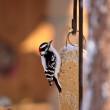 Downy Woodpecker on feeder — Stock Photo
