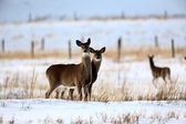 White tailed Deer in winter — Stock Photo