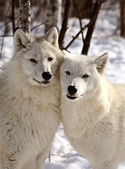 Arctische wolven in de winter — Stockfoto