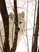 Arctic Wolf in winter — Stockfoto
