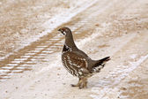 Spruce Grouse walking across a logging road — Foto Stock