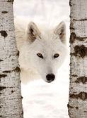 ártico seria procurando entre duas árvores — Foto Stock