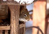Red Squirrel inside a bird feeder — Stock Photo