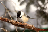 Black capped Chickadee perched on branch — Stock Photo