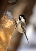 Black capped Chickadee perched on feeder — Stock Photo