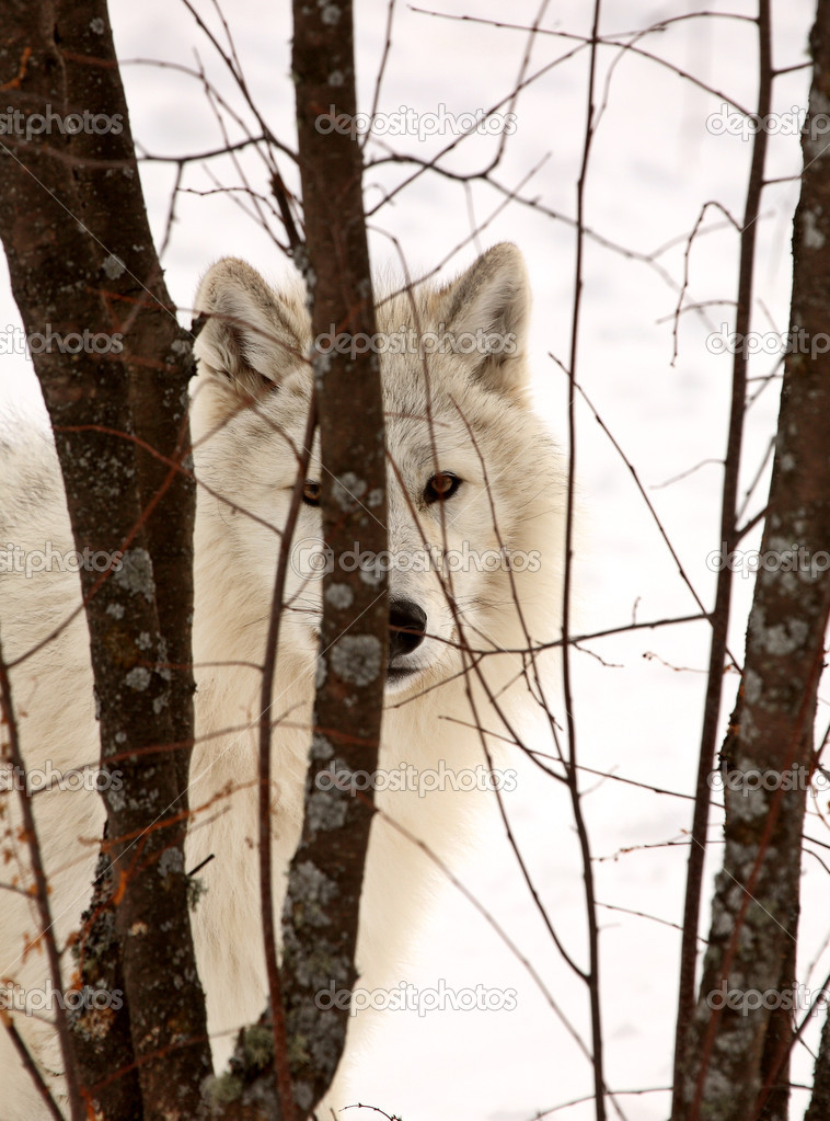 Arctic Wolf in winter  Foto Stock #5014035