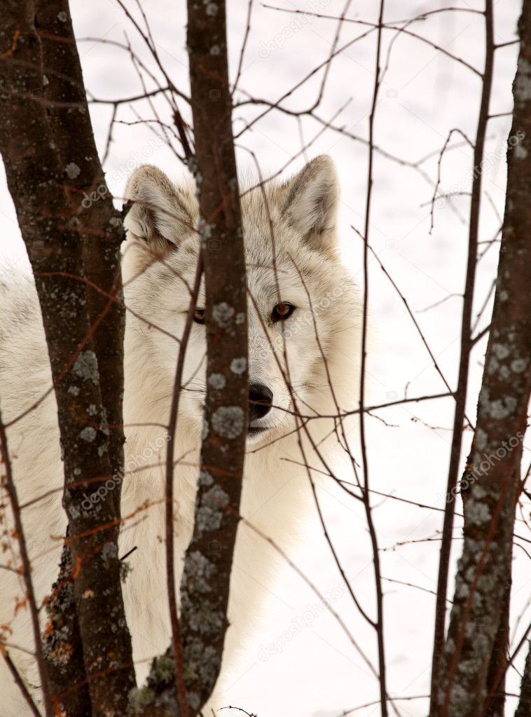Arctic Wolf in winter  Zdjcie stockowe #5014035