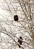 Two Bald Eagle perched in tree — Stock Photo