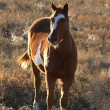 Pinto horse in summer pasture — Stock Photo