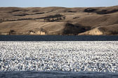 Huge flock of Snow Geese on lake — Stock Photo