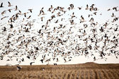 Huge flock of Snow Geese — Stock Photo