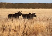 Two male moose running through field — Stock Photo