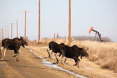 Three moose crossing country road near oilrig — Stockfoto
