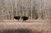 Twee koe elanden in de buurt van aspen boom grove — Stockfoto