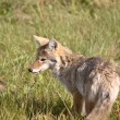 Coyote pup in Alberta — Stock Photo #5207523