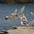 California Gulls flying up from boat dock — Stock Photo