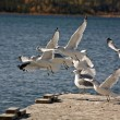 California Gulls flying up from boat dock — Stockfoto