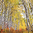 Trail through Aspen grove — Stock Photo