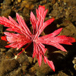 Red fallen leaf in rocks — Stock Photo