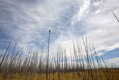 Spálené stromy v severní saskatchewan — Stock fotografie