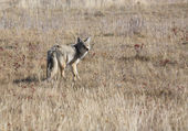 Coyote standing in field — Stock Photo