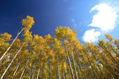 Looking up through Aspen trees in fall — Stock Photo