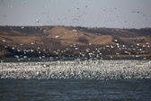 Huge flock of Snow Geese on Buffalo Pound Lake — Stock Photo