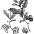 Stok Vektör: Huckleberry or Gaylussacia resinosa engraving