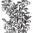 Bilberry, whortleberry or Vaccinium myrtillus engraving — ストックベクタ