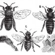 图库矢量图片: Male, female and neutral bee with leg close-up and honeycomb