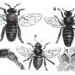 ストックベクタ: Male, female and neutral bee with leg close-up and honeycomb