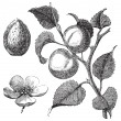 Stockvector : Apricot flower, tree and kernel old engraved illustration